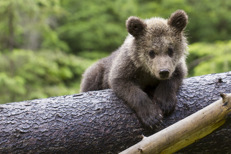 brown bear cub baby sitting on belly on fallen spruce tree looking at camera with green forest background