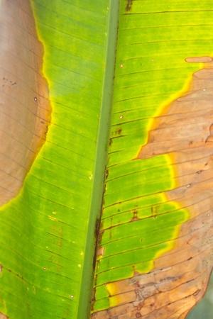 Banana leaf for green background photo