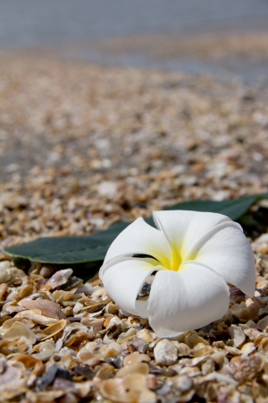 Frangipani flower on the beach photo