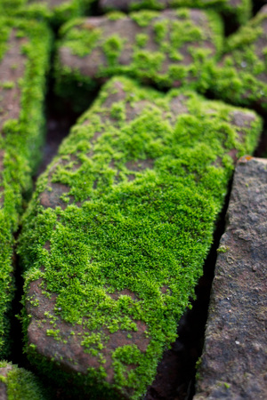 mossy on damp brick in the morning light. photo