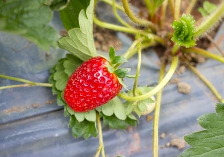 Strawberry bush growing in the garden photo