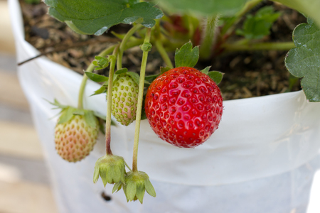 Red and green strawberry in pots photo