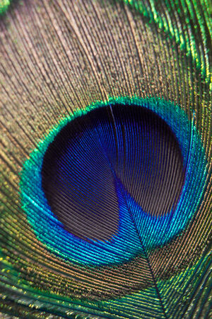 Beautiful feather of a peacock close up. photo