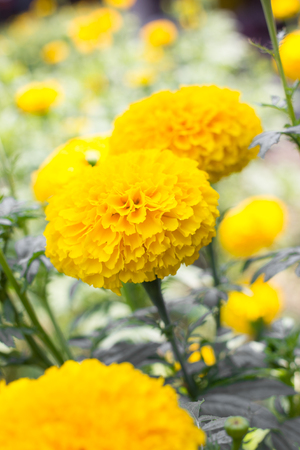 Marigolds or Tagetes erecta flower in the nature or garden. photo