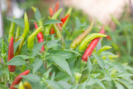 bush pepper: ripe red and green hot chili peppers on a tree.