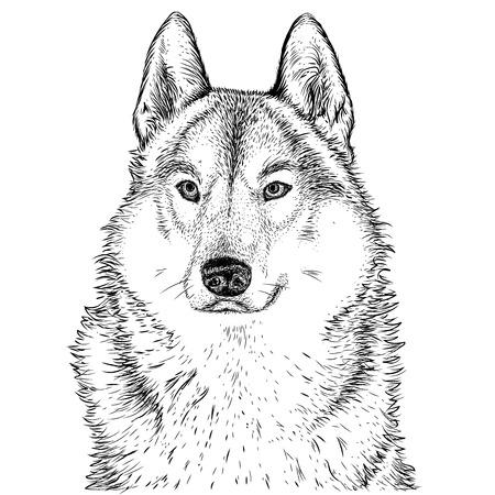 dessin noir et blanc: Loup  Illustration