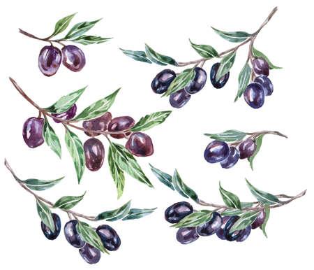 black olive: Watercolor black olive branches. Vector illustration.