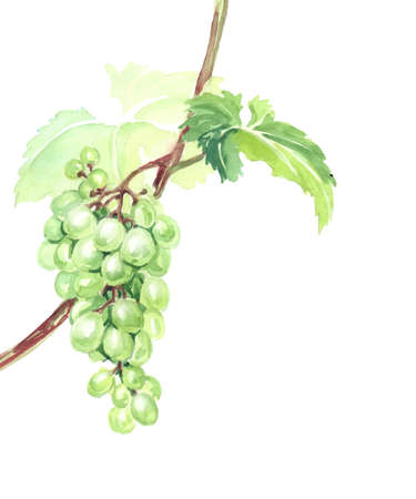 white grape: Watercolor Sketch bunches of grapes.