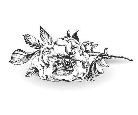 wild rose: Sketch blooming branch of wild rose. Element for your design. Vector Illustration Illustration