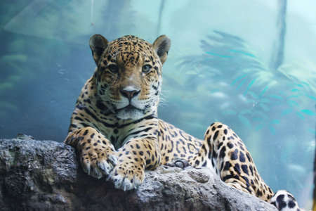 catlike: a jaguar is in the Moscow zoo, Russia Stock Photo