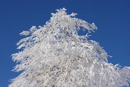 snowbound: snow-bound trees