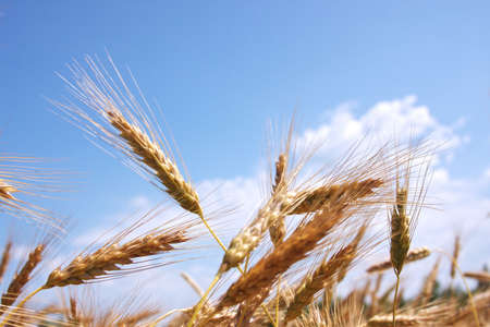 wheat on a background blue sky photo