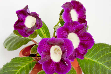 flowering gloxinia on a white background