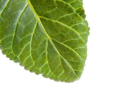 green sheet of gloxinia Stock Photo