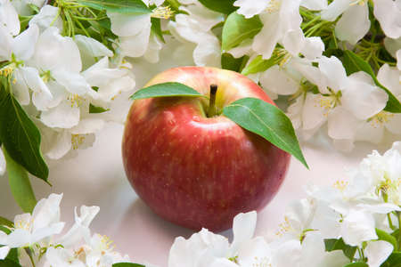 beautiful designer background with the sprigs of flowering apple-tree and red apple photo