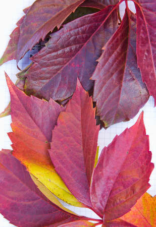 background from the autumn leaves of wild grapes Stock Photo