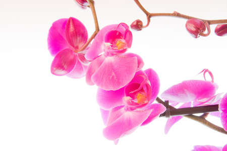 flowers of pink orchid on a white background photo