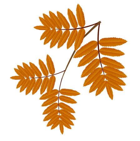 ash: autumn leaves of wild ash,vector illustration