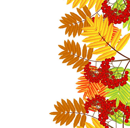 branch with autumn leaves and berries of wild ash,vector illustration