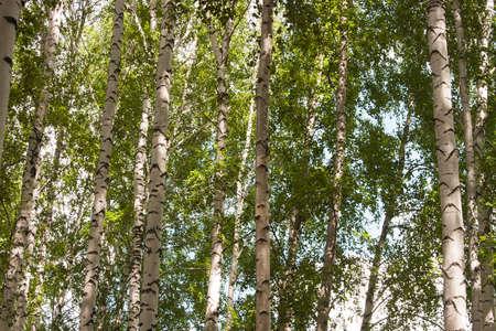 birchwood: Beautiful birchwood in a clear sunny day Stock Photo
