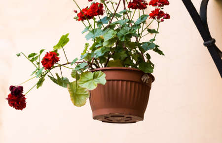 hanging flowers: growing in a hanging flower pot flowers