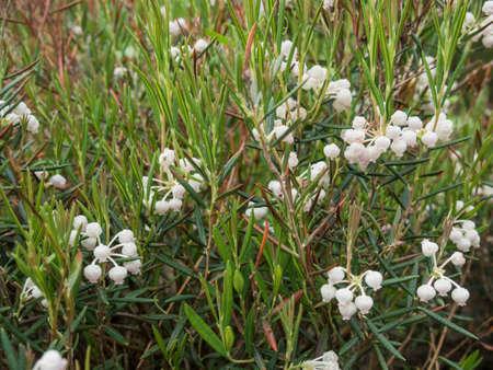 Blooming on field Andromeda polifolia