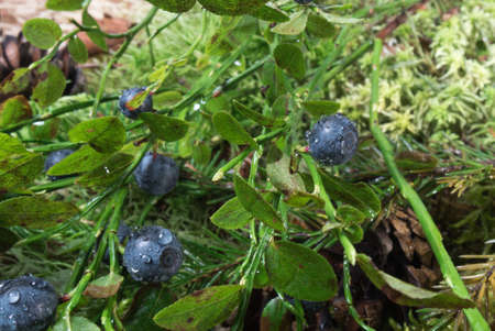 blueberry bushes: Bush with blueberries after the rain in the forest Stock Photo