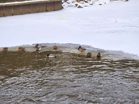 group of ducks on the ice on the river in winter Imagens