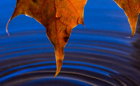 Yellow autumn leaf with a raindrop over water