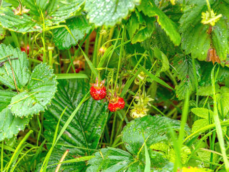 Strawberry plant with ripening berries growing in field