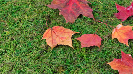 fallen maple leaves on a ground