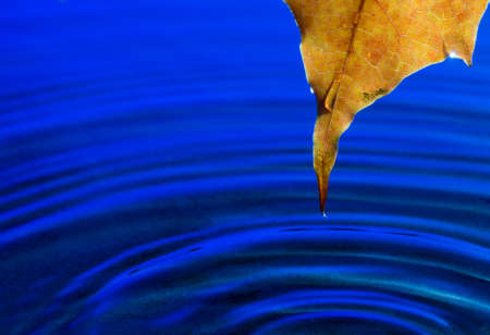 Close-up of yellow autumn maple leaf on water
