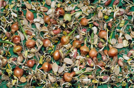 sprouted: Many sprouted seeds: onion, bean, sunflower and other crops on a green background.