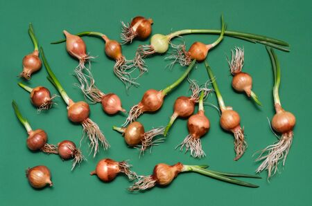 sprouted: Small sprouted onion bulbs, lay on a green background.
