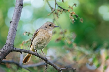 plum tree: The female Redstart, sitting on a branch of a plum tree in the garden, bokeh and place for text