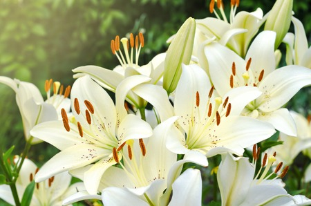 Many bright flowering lilies in the garden Фото со стока