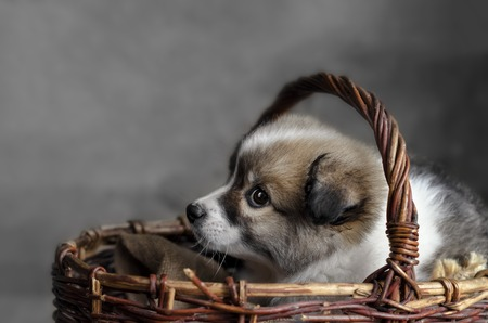 Sad little puppy sitting in a basket Stock Photo