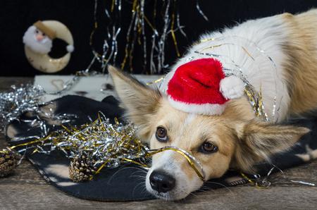 Funny dog on Christmas eve, black background.