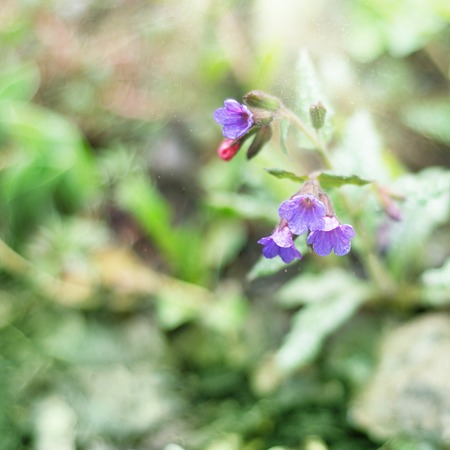 Defocused background with the flower of the common lungwort. Early spring flower in its natural habitat. Stock fotó