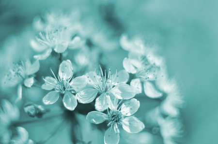 Beavertail tinted in turquoise color background, with a blossoming branch of a cherry. Stock fotó