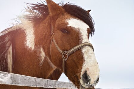 Portrait of a spotted horse, in winter behind a hedge. The white spot and the snow on the face. Stock fotó - 135495568