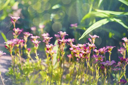 Miniature pink flowers blooming moss in spring. Selective focus