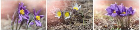 Collage of three photos of spring snowdrops blooming in the forest. The first insects fly