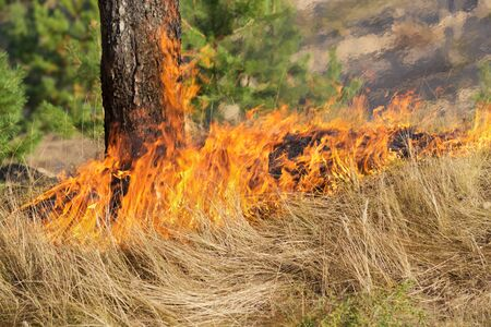 A forest fire devours dry grass and wood. The air is shivering with heat Фото со стока