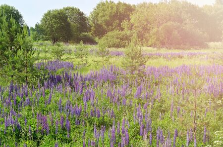 Landscape with massive lupine blooms in natural conditions