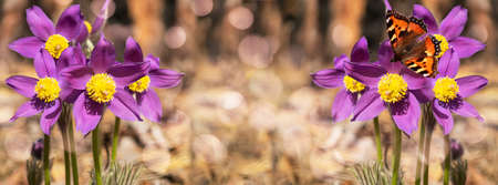 unfocused widescreen forest background with blooming snowdrops and a butterfly. Art design, banner Stock Photo
