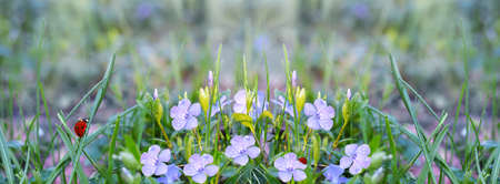 Defocused widescreen spring background with blooming periwinkle and ladybirds, in water drops and morning light. Art design, banner