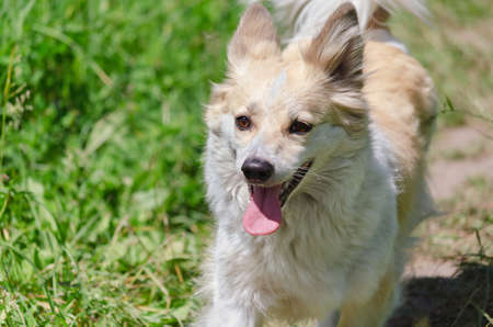 Cheerful funny dog runs through the green grass with its tongue hanging out. Selective Focus