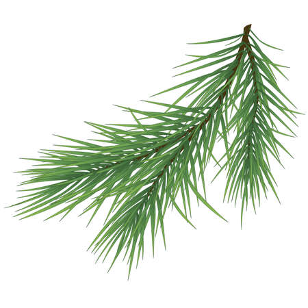 Green lush spruce branch. Fir branches on white illustration