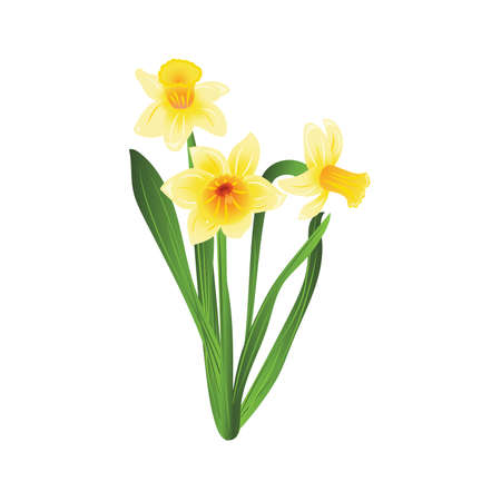 jonquil: Bouquet of three yellow narcissus flowers with green leaves. Vector